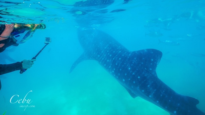 菲律賓宿霧|去歐斯陸Oslob看鯨鯊心得&重要8件注意事項